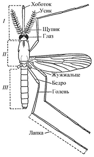 Строение тела комара