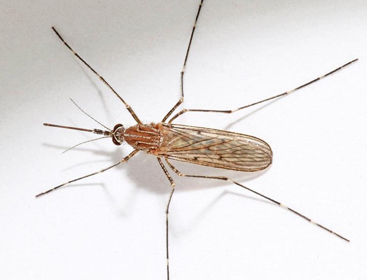 Жгучий комар