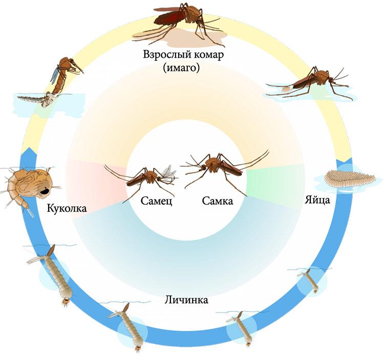 Жизненный цикл комаров (стадии развития на схеме)