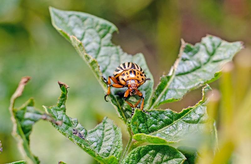 Чем питается колорадский жук?