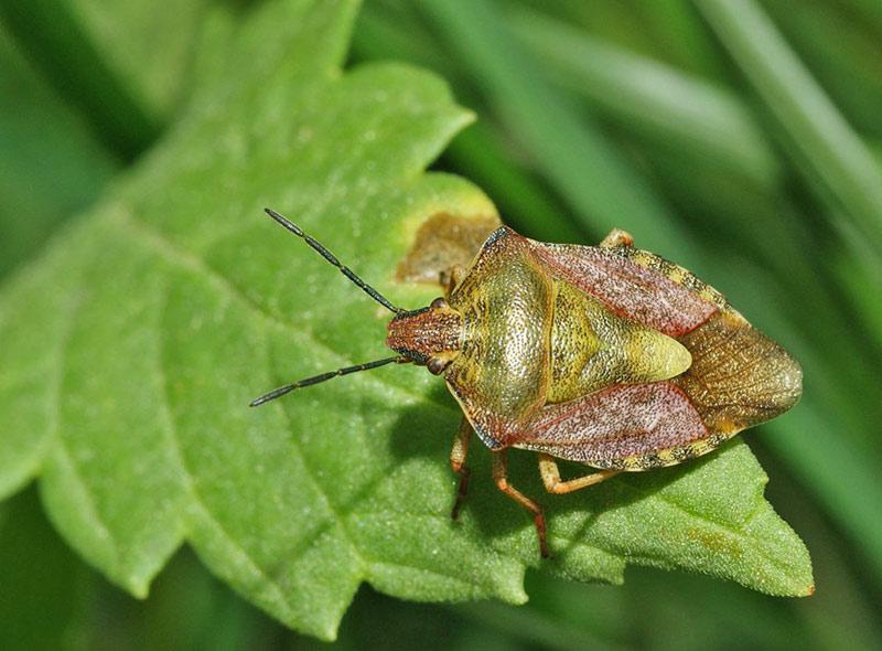 Клоп вонючка (щитник): внешний вид, особенности и образ жизни жука