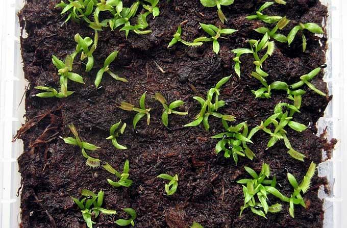 Как сажать мухоловку из семян 51